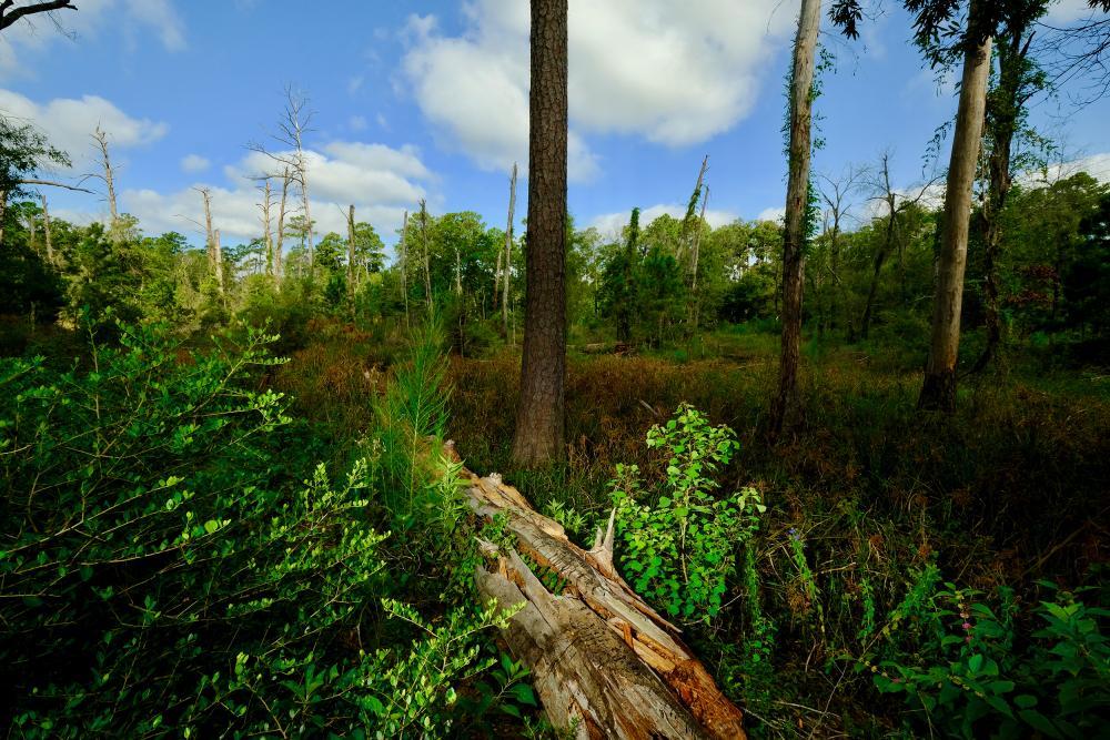 Restored pine-hardwood forest. Courtesy Memorial Park Conservancy.